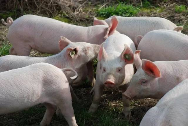平泉人还可以吃猪肉