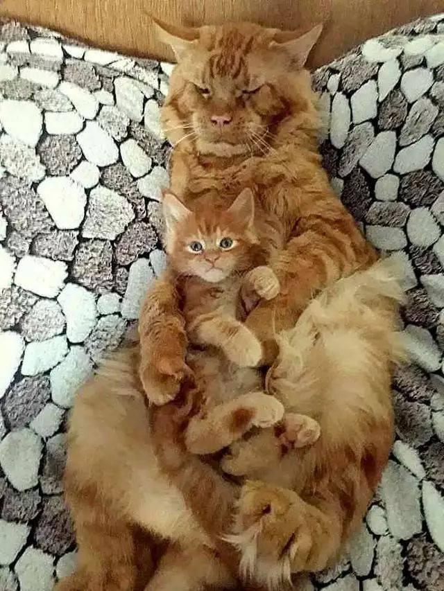 撸洗澡媳妇_后来媳妇讨回来没过多久就升级成猫爸了,我们先来看看这对父子的画风.