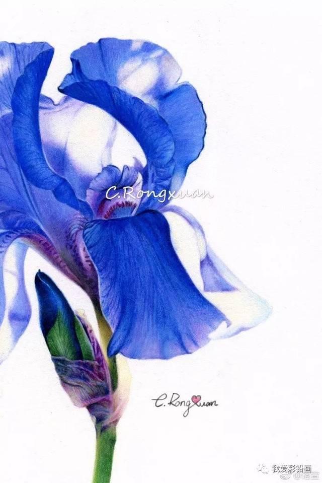 夏日阳光——鸢尾花,彩铅手绘