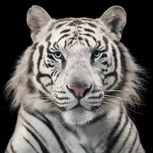 bt无码动物下载_【动物】这些高清无码的动物照,假的像画的一样!