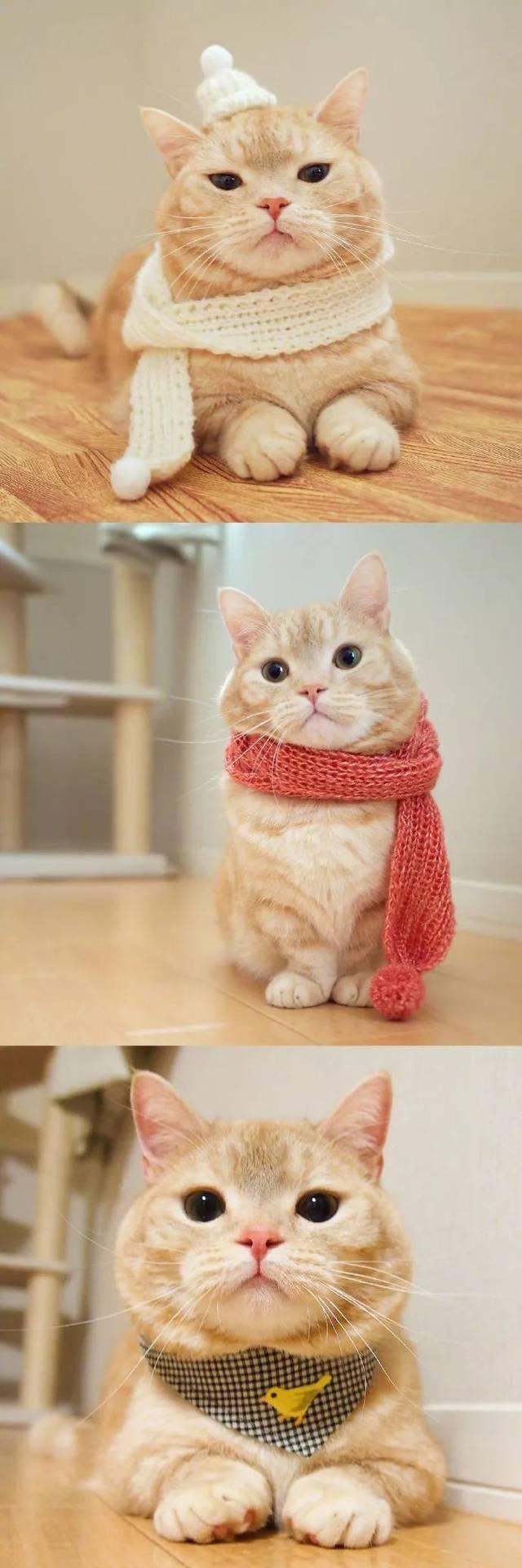 短腿橘猫是什么品种-短腿橘猫多少钱一只,花花与三猫
