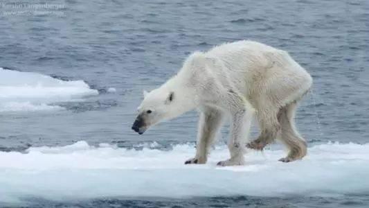"""32℃兔子惊现北极,""""北极熊灭绝""""刷爆高温圈背后:我们所有人都是刽子手吉泽明步女郎朋友图片"""