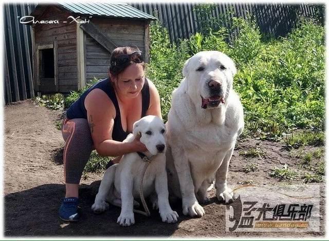 能作为出色的护卫犬,也拥有不俗战斗力的大家伙——中亚牧羊犬
