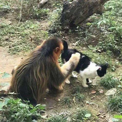 人与动物交配撸撸网_没什么动物是喵星人搞不定的,连猴子也懂得撸猫了