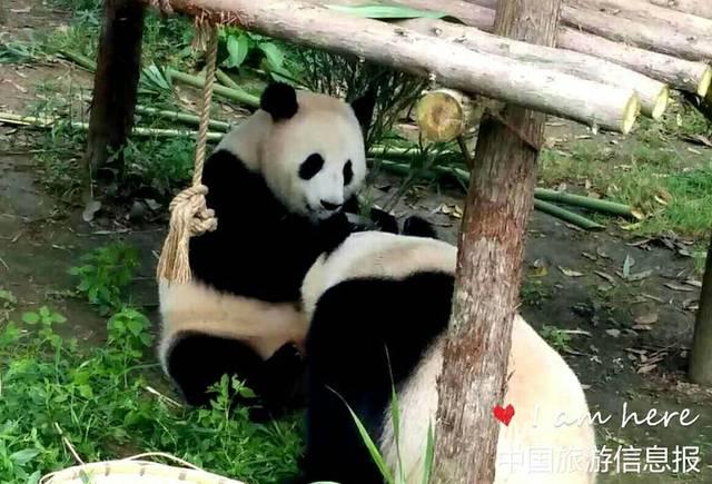 贵州森林野生动物园的熊猫今天过生日啦图片