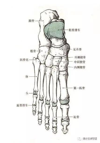 骚楔喜欢被强奸_跗骨 有7块,即距骨,跟骨,骰骨,舟骨和第一,二,三楔骨.