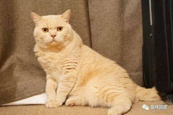 以前一直无法想象橘猫到底有多胖