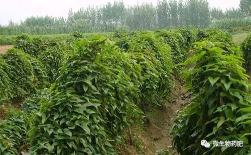 山药即薯蓣科薯蓣,以肥大的块茎供食用或药用,其营养价值高,深受消费图片