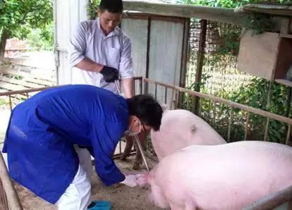 非洲猪瘟来了,福鼎的情况怎样?