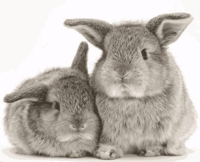 该怎么辨别兔子的公母?