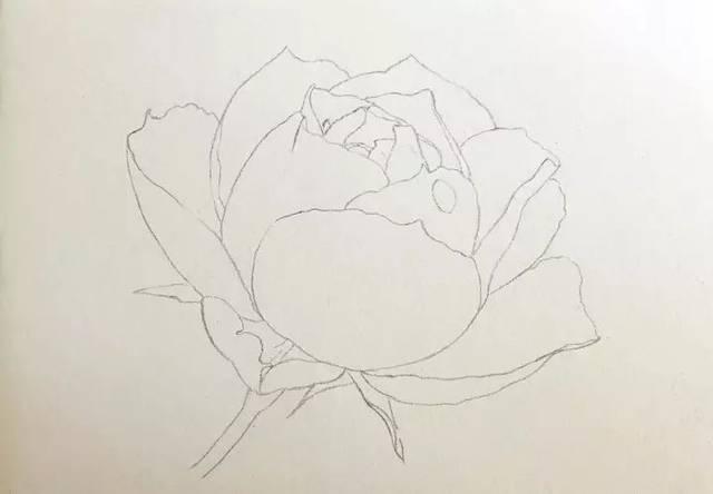 铅笔手绘月季花图片