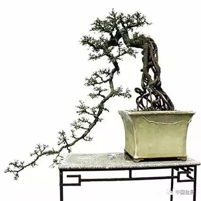 悬崖式盆景的树形设计及制作图片