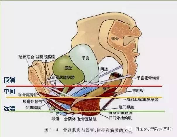 看看美女一丝不挂阴道大b图_顶端:主韧带-骶韧带复合体 支持子宫,阴道上1/3