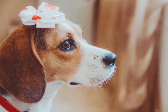世界上体型最小的猎犬,充满感情的兔子杀手 | dogtv犬