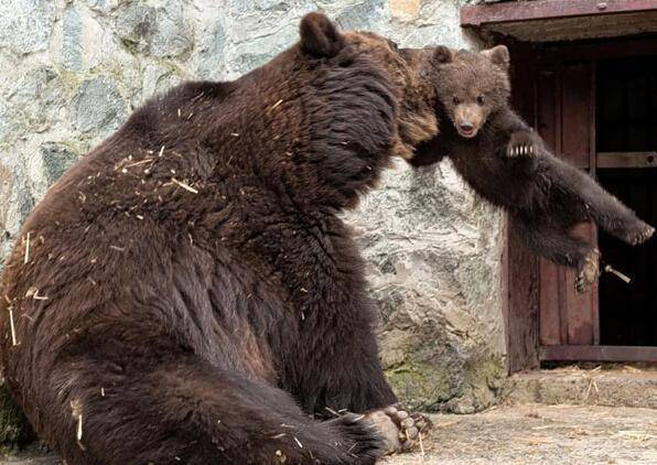 熊孩子犯错之后,母熊妈妈愤怒地盯着站在不远处无精打采的小熊,冲其一