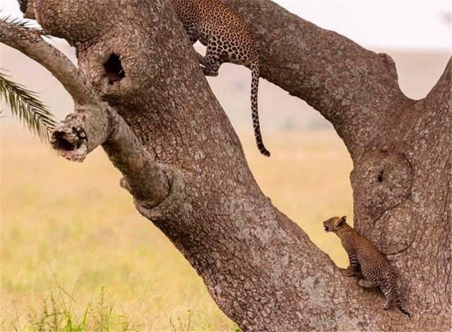 操幼嫰逼5岁_母豹教幼崽爬树真是操碎了心,先做示范然后耐心指导,超有爱!