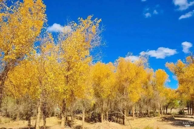 它们将春夏吸收的全部日光,和风沙洗礼的沧桑,在秋季一瞬间释放.