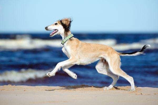 萨路基猎犬是世界上狗狗奔跑速度最快的之一, 它有能力可以猎杀一头羚