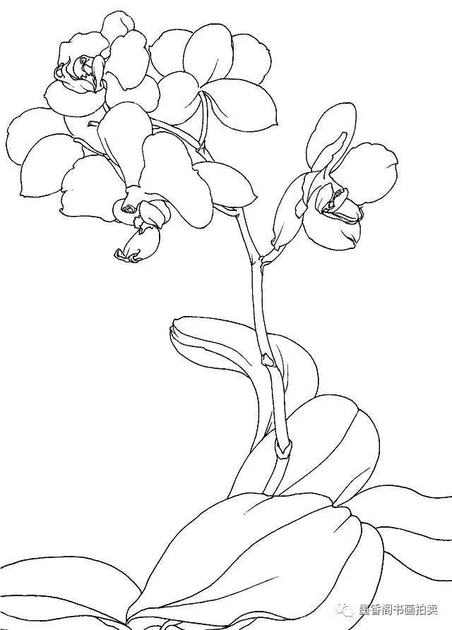 国画技法:兰中皇后蝴蝶兰的写生,写意画法,怎一个美字