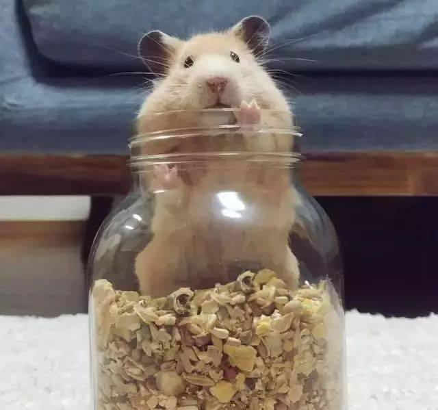 """小仓一液态家的""""石头""""日本鼠把网友萌乌龟网友形状像天然图片"""