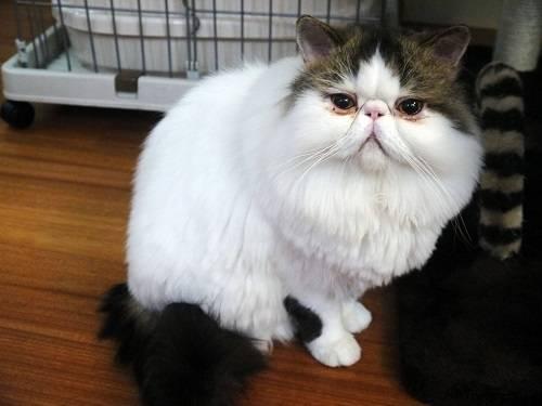 加菲泪痕会传染给别的猫吗,猫咪的泪痕还会传染吗
