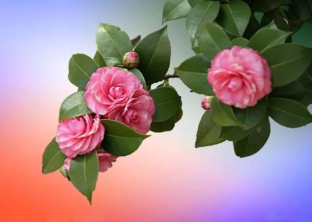 山茶花为常绿花木,开花于冬春之际,花姿绰约,花色鲜艳,郭沫若同志