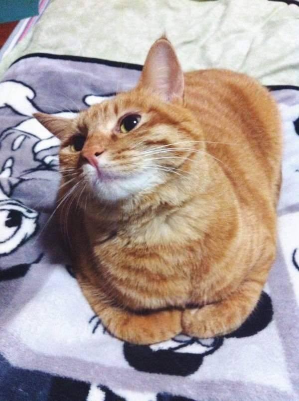 要问橘猫有多胖,背上奥特曼都能放!