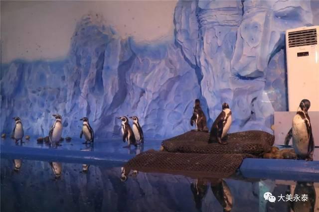 首批8只南美麦哲伦企鹅来永泰啦,正式落户欧乐堡海洋世界图片