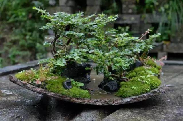 碎瓦片搭配溪石,土壤,苔藓和绿植,就能营造出颇富野趣的微型景观!图片