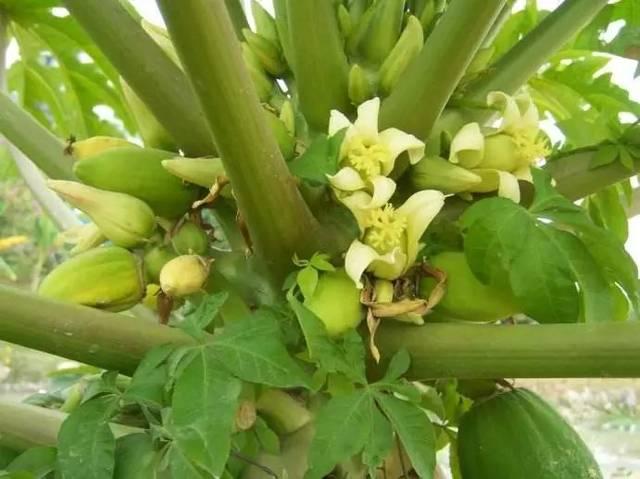 木瓜树长得大气磅薄啊!