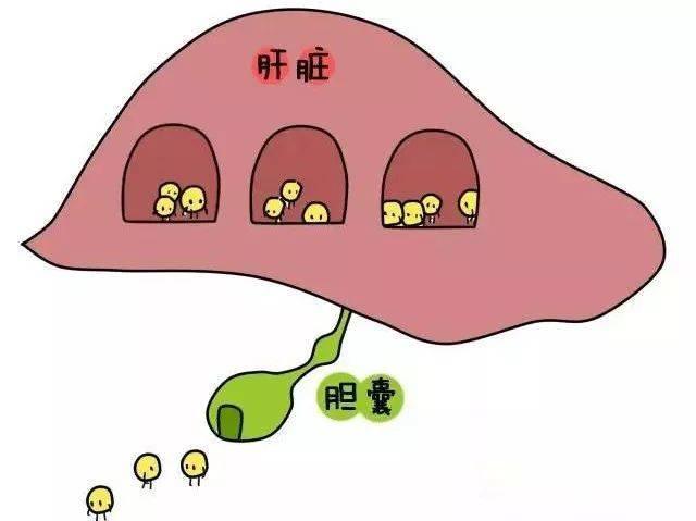 剩下的5%大部分会被结肠内的肠道菌群代谢成胆烷酸,并随着大便排出