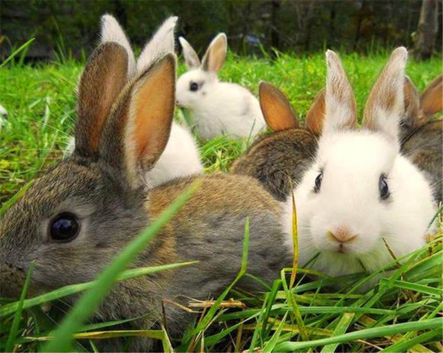 灰色们每天在一起a灰色的玩耍着,但是其中一只兔子的兔子却觉得这样的坦湖慈鲷好养吗图片