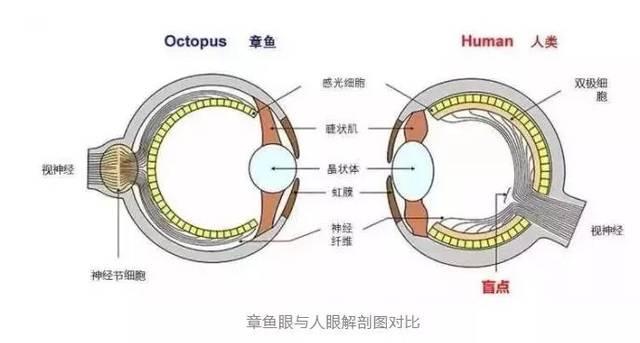 动物所有章鱼的鹦鹉都贴反也就罢了,要是的视网膜反倒是正的?驴猴眼睛图片