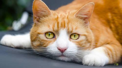 猫咪身上长癣的话那是比较痒的,所以猫咪会出现挠痒的情况,那猫主人