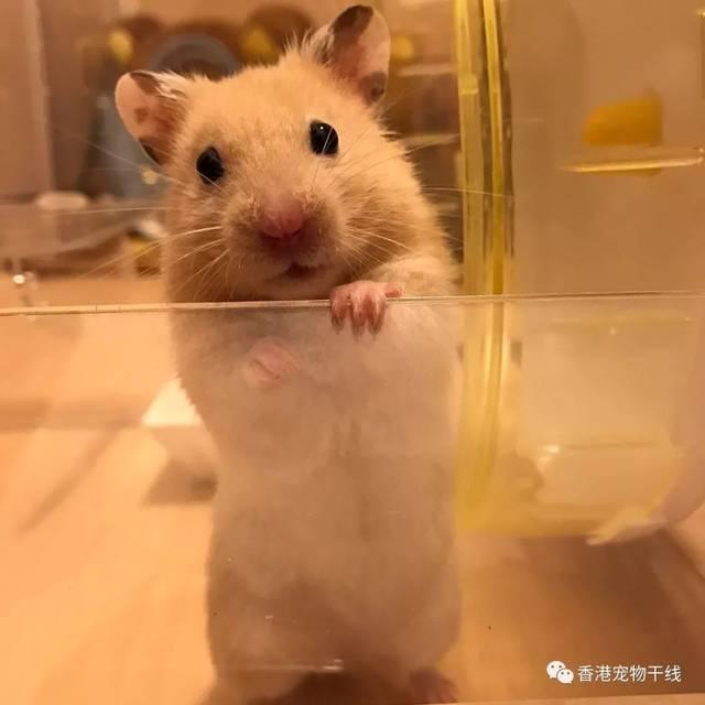 现在很多人都发现养口才,喜欢仓鼠动不动就吃自己的便便,还向人扔潍坊小海豚仓鼠v口才图片