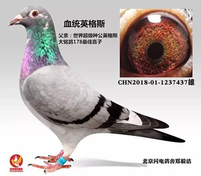 鸽子鸽鸟类动物图示鸟利息640_560蚂蚁v鸽子提前还款要教学吗图片