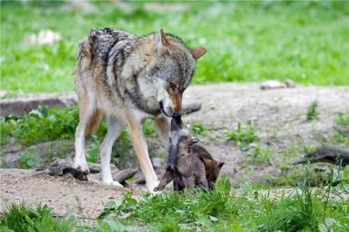 为什么母狼将弃婴养大,却不吃掉他们,看完文章终于知道答案了