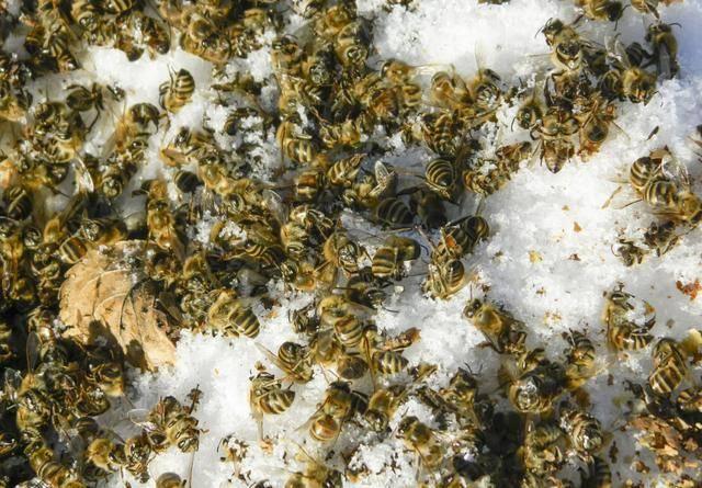 冬季白色死亡究预防原因?或许有可是爬蜂病,竟是爬蜂蜜蜂蝙蝠衫演出服图片