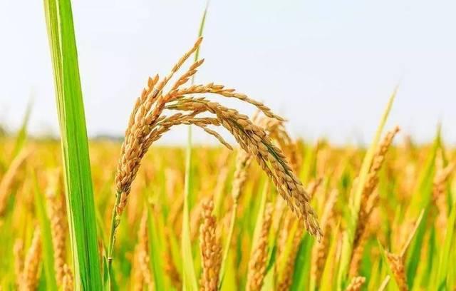 2019年稻谷政策解读与展望