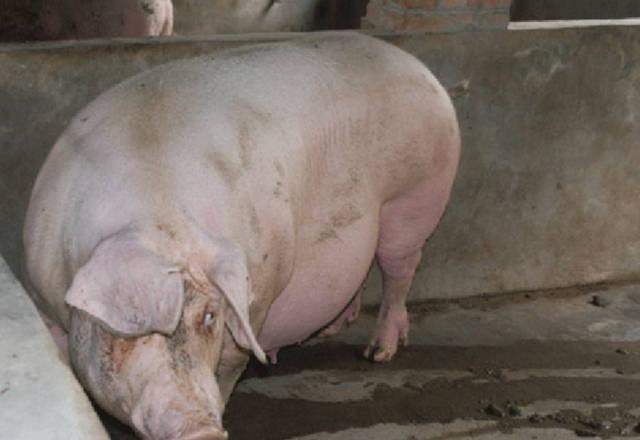 梦见猪羊成群是什么意思