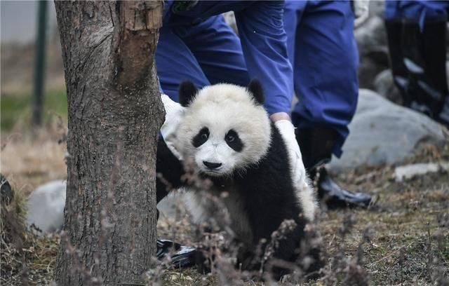 中国大熊猫保护研究中心2018年新生熊猫宝宝集体亮相