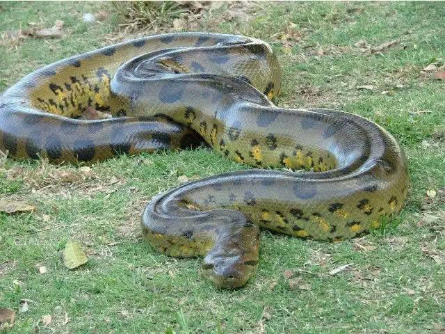 历史上,泰坦巨蟒曾是世界上最大的蛇,不过它已经灭绝,而如今最大的蛇