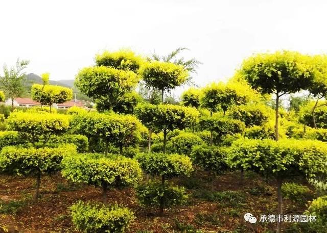 金叶榆造型树的制作及修剪方法图片