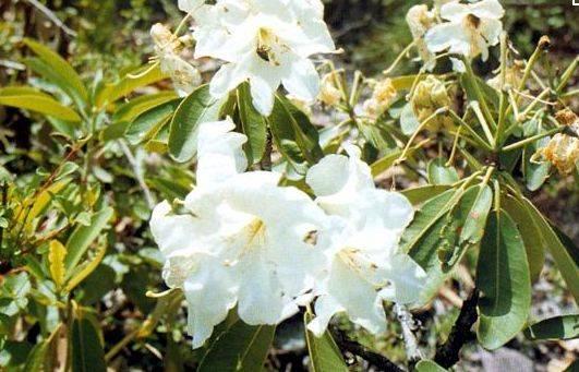 攀枝花不但花朵美丽,还有解毒清热驱寒祛湿之功效,无论鲜,干,都可用