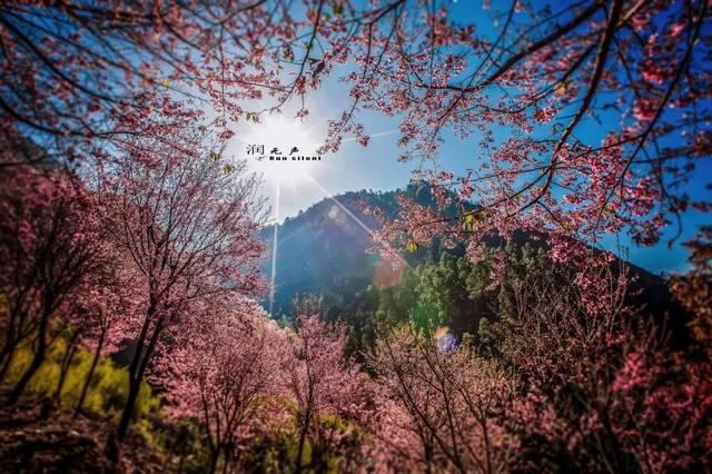 金飞豹将引领浪漫樱花跑┃昆明·宜良首届樱花文化旅游节3月6日盛大