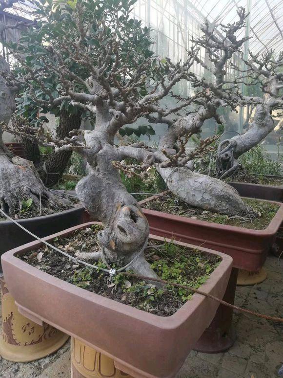 小叶榔榆成品图片