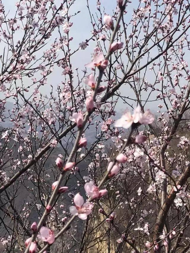 萌身高差情侣囹�a_新安县荆紫仙山花情预报,洛阳最美的桃花即将全面盛开