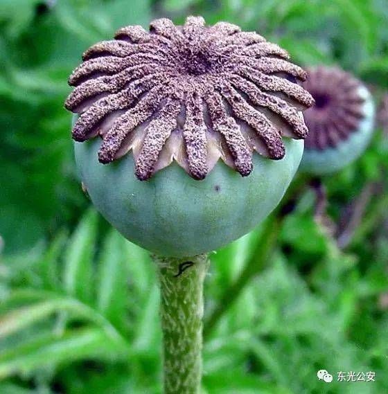 罂粟花凋谢期图片