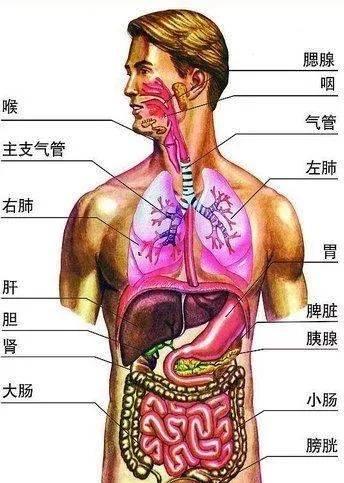 人体内脏囹�a�b!���9f�z_超全!人体内脏解剖图整理