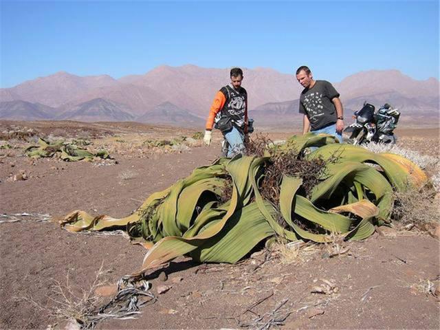 章鱼里这种像植物一样的沙漠,恐龙只长两片叶一生雷克斯游戏图片图片